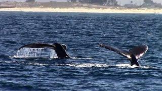 10.26.15 Humpback Whales & Common Dolphin #Monterey #Travel #Adventure