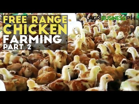 Free Range Chicken Farming Part 2 : Free Range Chicken | Agribusiness Philippines