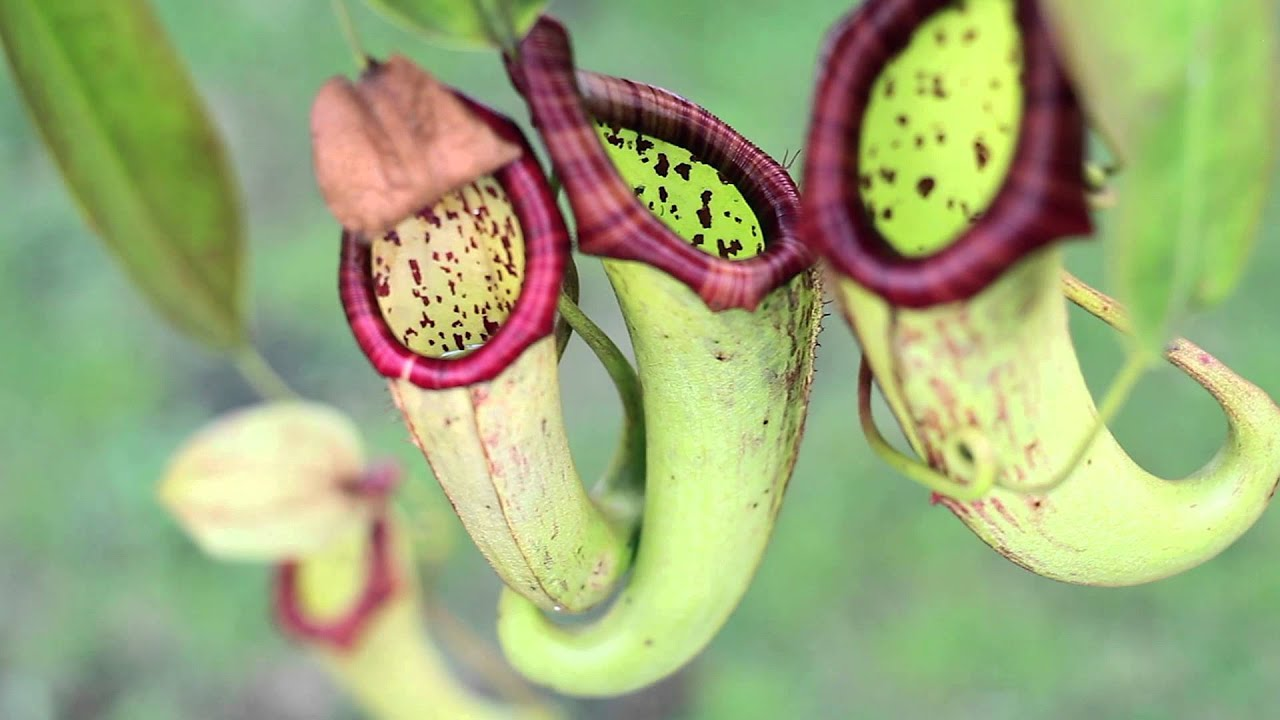 plantes carnivores nepenthes miranda 3 youtube. Black Bedroom Furniture Sets. Home Design Ideas