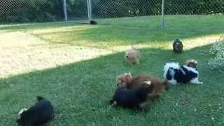 The Cutest 9 Yorkshire Terrier Puppies Playing Tag