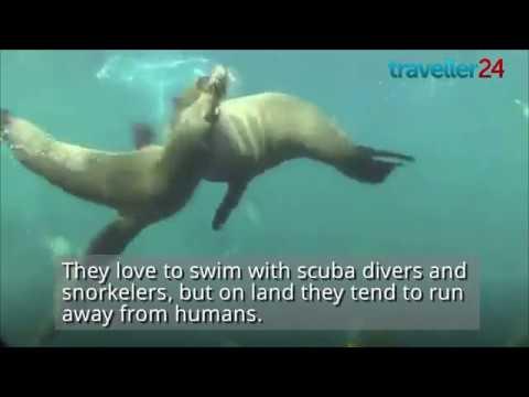 The Cape Fur Seals