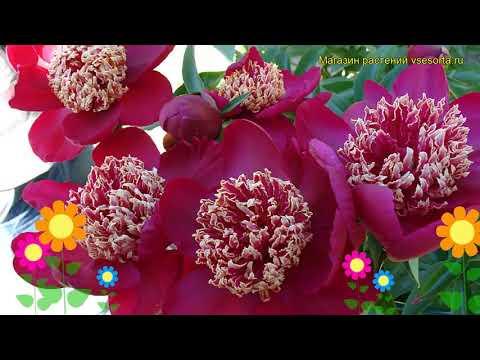 Пион молочноцветковый Ниппон Бьюти. Краткий обзор, описание paeonia lactiflora Nippon Beauty
