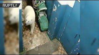 видео: Незваный гость: на Новой Земле белый медведь забрёл в подъезд дома