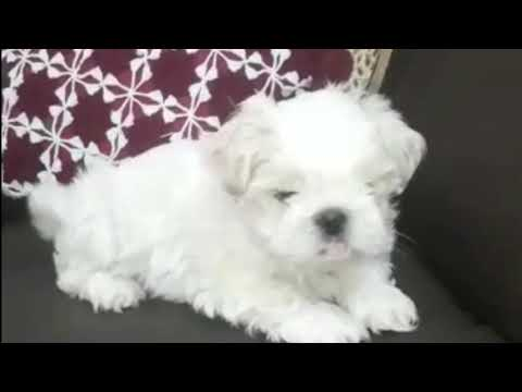 9-apr-2020:-(mr-b)-white-coat-lhasa-apso-puppy-in-siliguri