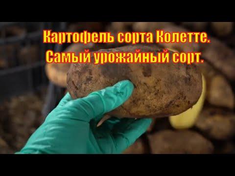 Картофель сорт колетте.  Самый урожайный сорт картофеля.