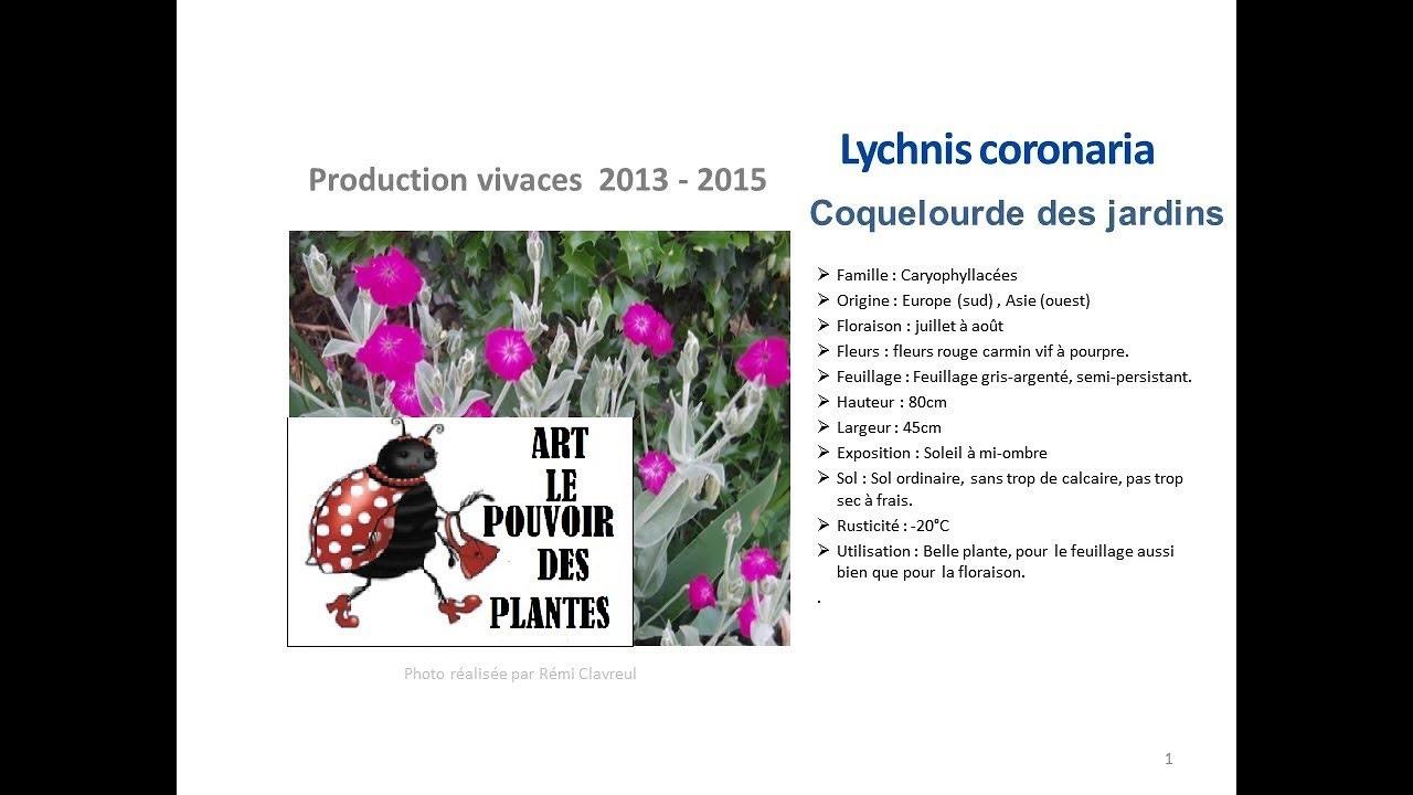Jardinage lychnis coronaria coquelourde des jardins - Coquelourde des jardins lychnis coronaria ...