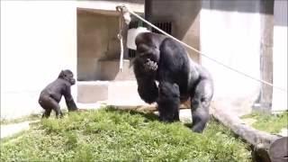 名古屋市東山動植物園のニシローランドゴリラが人気を集めています。場...