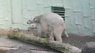 Wild Sex of Bear in Everland Park (Korea)