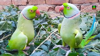 Mitthu And Rainbow Talking With Each Other In Urdu Hindi On Green Leaves Looking So Cute
