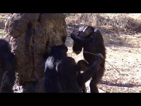 Sign language chimpanzee:Animal Video