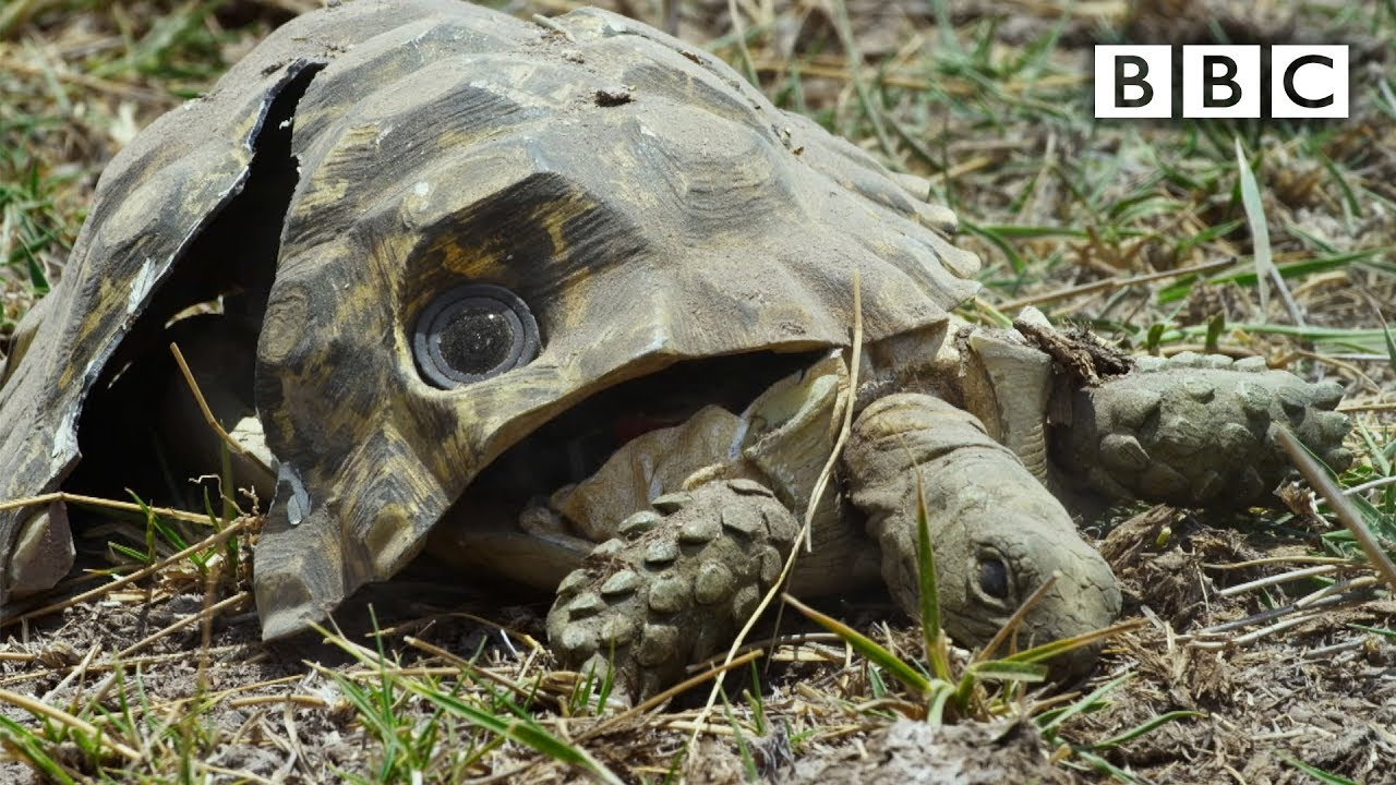 Spy Tortoise squashed by elephant keeps filming - Spy in the Wild: Episode 5 Preview - BBC One
