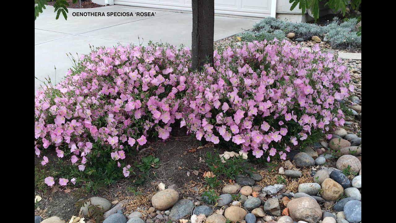Don Lemon >> Oenothera speciosa 'Rosea' - Mexican Evening Primrose ...