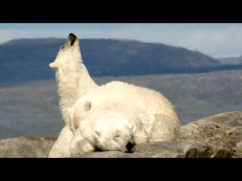 Documental: El Oso Polar
