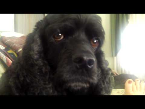 BLACK AMERICAN COCKER SPANIEL TALKING