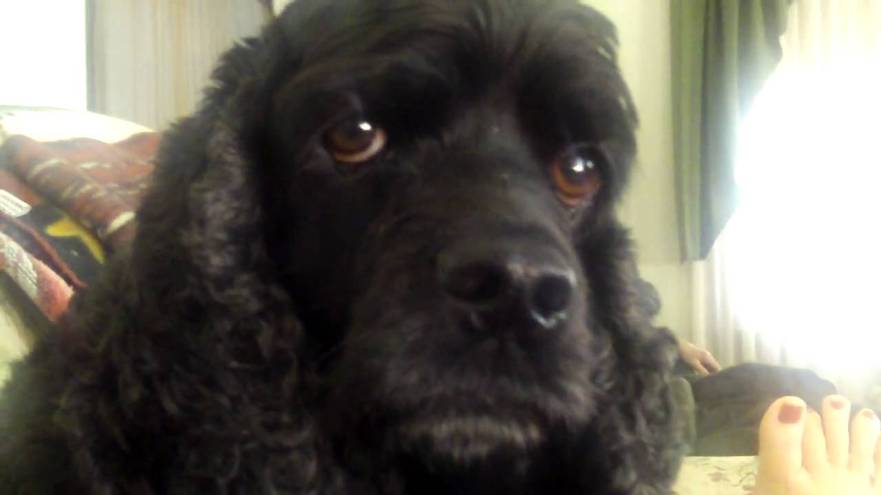 Black American Cocker Spaniel Talking Youtube