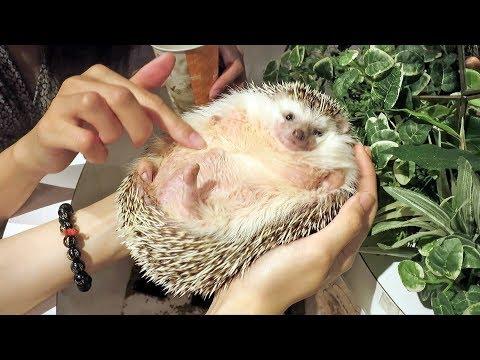 World's Fattest Hedgehog - Incredible!