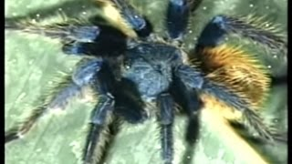 TARANTULAS - Discovery Channel Video