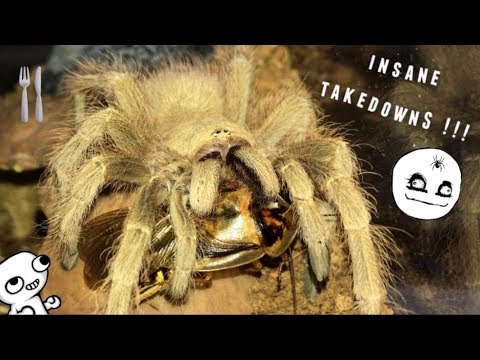 Tarantula Feeding Video #27 ~ GOOD START !!!