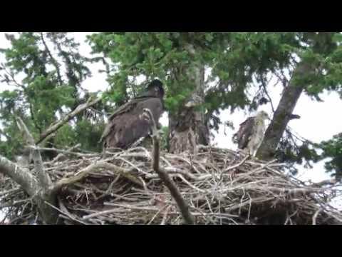 Roberts Bay, Sidney BC Eagles ~ 7 June 2017