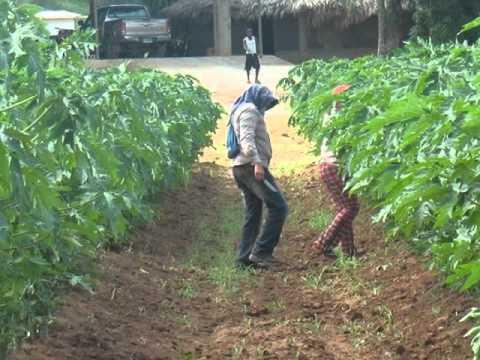 De pdf cultivo papaya maradol
