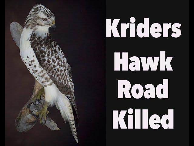 Red Tailed Hawk mount, Kriders Hawk. Art of Taxidermy