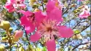 Silk Floss tree - Ceiba speciosa  - palo borracho - drunken stick - Chorisia speciosa HD 01