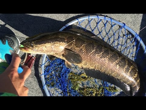 Huge Snakehead Caught while Tournament Fishing on the Potomac River