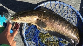 Huge Snakehead Caught while Tournament Fishing on the Potomac River 8/22/15