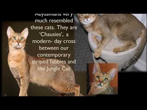 Abyssinian Cat Origins and Geneology