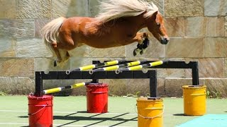 "Crunch ★ ""FREE JUMPING 3"" ★ Miniature horse champion (@1itscrunchtime1)"