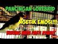 Pancingan Ngetik Lovebird Musuh Pasti Emosi  Mp3 - Mp4 Download