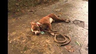 Hombre mató a pitbull por defender a perro criollo en Puerto Berrio