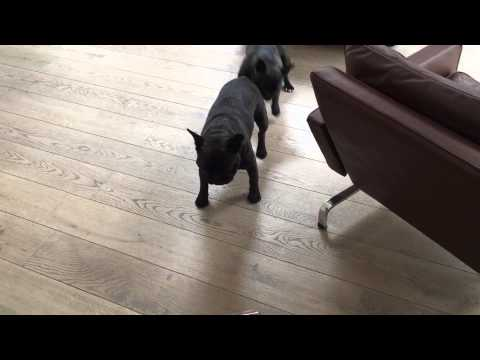 Gizmo & Gadget: French Bulldogs battle the...