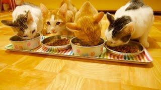 子猫4匹の食欲がやばい