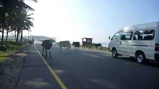 Sri Lanka,ශ්රී ලංකා,Ceylon,Cow Crossing Galle Road,Kuh,Vache