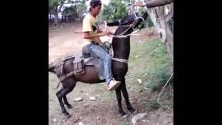 Amansando la mula