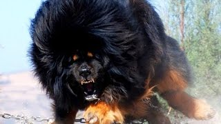 10 самых сильных собак в мире! #2. Кузница Фактов.(10 самых сильных пород собак! #1: https://www.youtube.com/watch?v=rPkWZJ2rk50 На этот раз среди победителей: Кавказская овчарка,..., 2016-02-05T20:11:44.000Z)