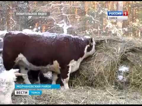 Герефордская порода крупного рогатого скота - YouTube