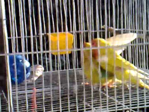 African Lovebirds Mating 2011