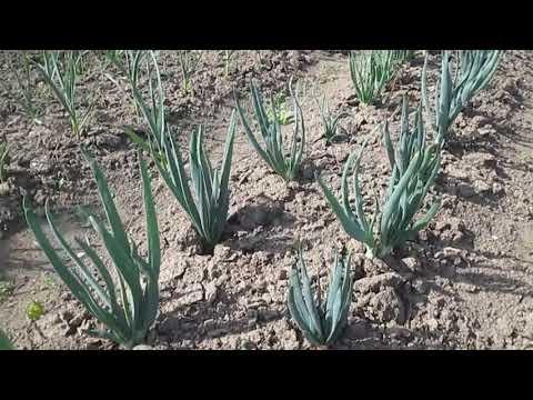 Вопрос: Как самостоятельно вырастить семена лука-шалота (чернушку)?