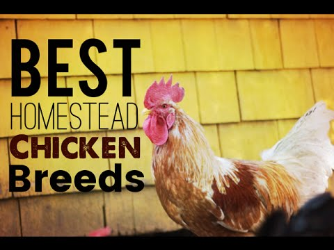 chickens-what-breeds-are-best