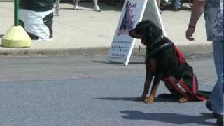 Harley The Rottweiler Weight Pulling