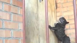Pug Has A Funny Bark