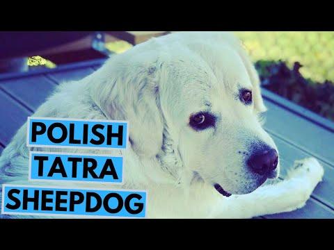 Polish Tatra Sheepdog  TOP 10 Interesting Facts