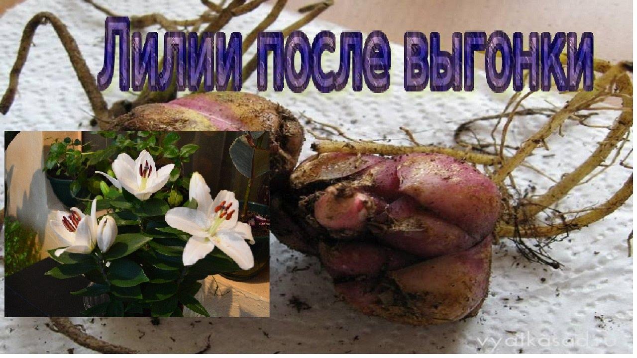 Лилии купить луковицы голландского производства по доступной цене оптом и в розницу. Купить луковицы лилий доставка почтой во все города.