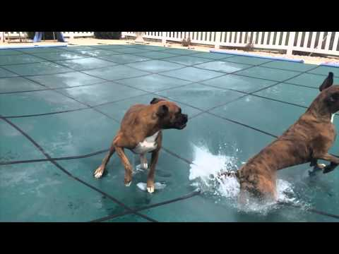 SLIP 'N SLIDE BOXERS ON POOL COVER!! (Brock the Boxer Dog)