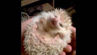 Ticklish Hedgehog  right side up version!!!