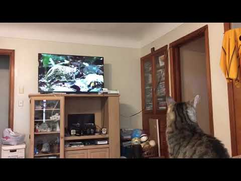 Lil' Nub Watches a Cat Documentary