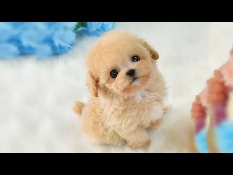 Cutest Micro Poodle Puppies Video Compilation