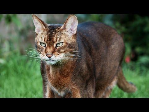 Абиссинская Кошка, Породы кошек, описание, уход